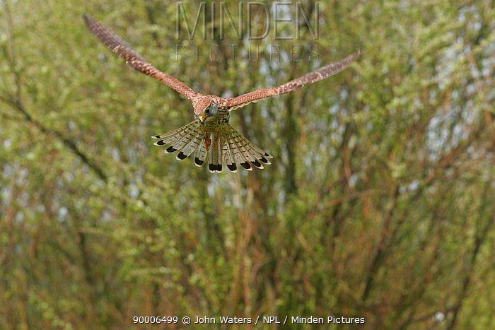 Eurasian Kestrel (Falco tinnunculus) sub-adult male hovering in flight, captive, Somerset, United Kingdom  -  John Waters/ npl
