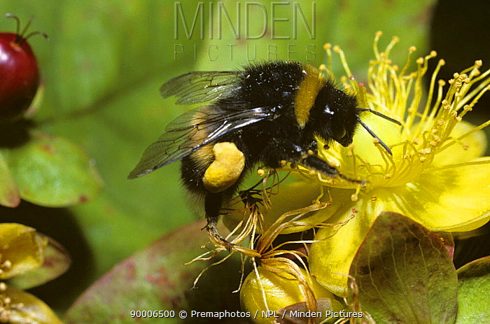 Buff-tailed Bumblebee (Bombus terrestris) worker with well-filled pollen sacs foraging on Tall Tutsan flower (Hypericum x inodorum), United Kingdom  -  Premaphotos/ npl