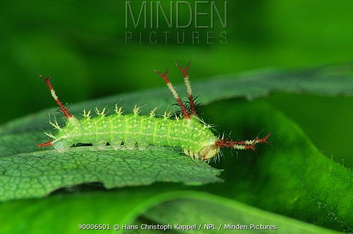 Tau Emperor (Aglia tau) caterpillar, Germany  -  Hans Christoph Kappel/ npl