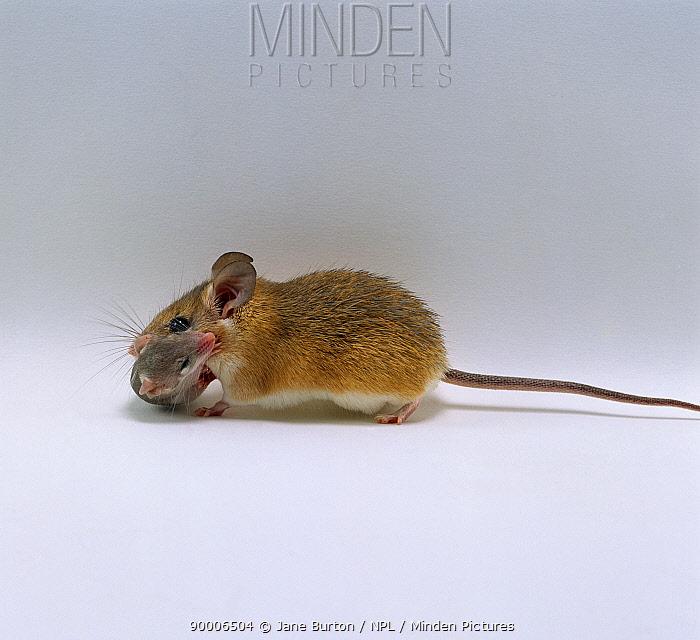 Arabian Spiny Mouse (Acomys dimidiatus) mother carrying her 3 day baby  -  Jane Burton/ npl