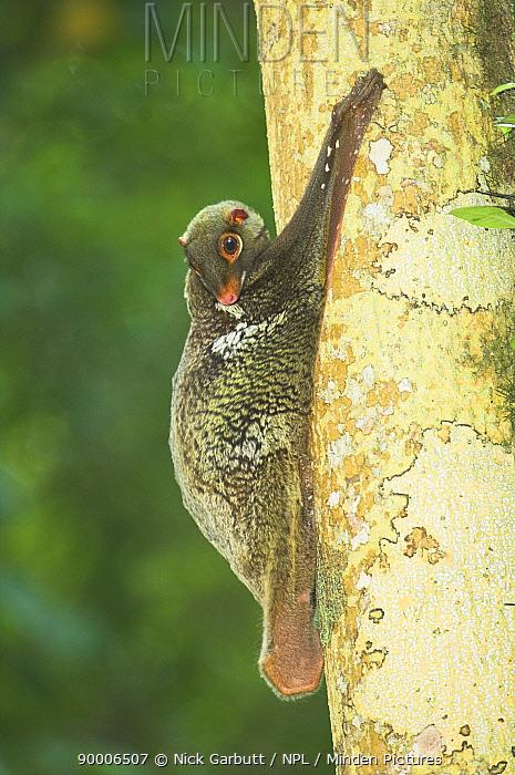 Malayan Flying Lemur (Cynocephalus variegatus) on tree trunk Bako National Park, Sarawak, Borneo, Malaysia  -  Nick Garbutt/ npl