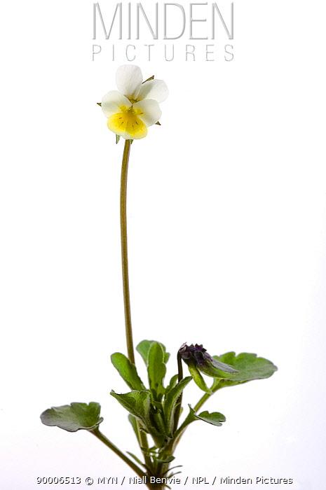 Dwarf pansy (Viola kitaibeliana), May, Oppland, Norway  -  Niall Benvie/ npl
