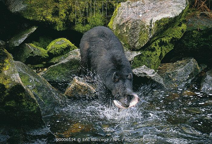 Black Bear (Ursus americanus) catching salmon in Anan Creek river, Anan Creek, Alaska  -  Eric Baccega/ npl