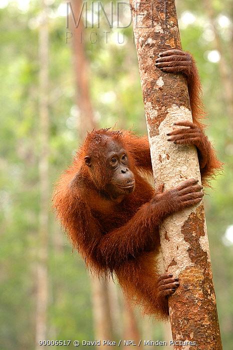 Orangutan (Pongo pygmaeus) adult climbing tree, Rehabilitation sanctuary, Tanjung Puting National Park, Kalimantan, Indonesia  -  David Pike/ npl