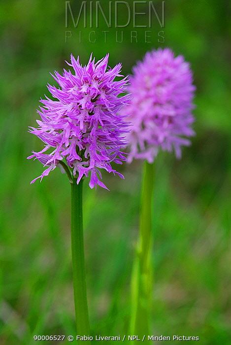 Toothed orchid (Orchis tridentata), Emilia Romagna Region, Italy  -  Fabio Liverani/ npl