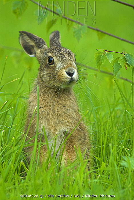 European Hare (Lepus europaeus) 8-week leveret, United Kingdom  -  Colin Seddon/ npl