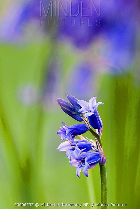 Bluebells (Endymion nonscriptus), North Somerset, UK  -  Michael Hutchinson/ npl