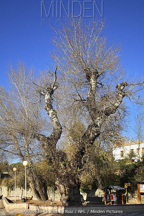Silver-leaf Poplar (Populus alba) in town, Ibi, Alicante, Spain  -  Jose B. Ruiz/ npl