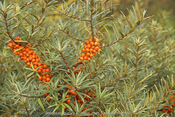 Common Seabuckthorn (Hippophae rhamnoides) with ripe berries, Norfolk, England, United Kingdom  -  Gary K. Smith/ npl