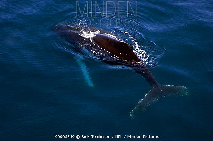 Humpback Whale (Megaptera novaeangliae) plays alongside SY Adele in the Gerlache Strait, Antarctica  -  Rick Tomlinson/ npl