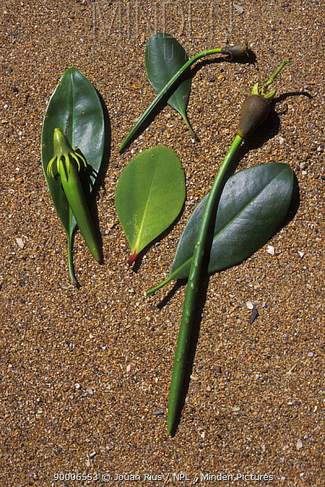 Mangrove seeds and leaves, Madagascar  -  Jouan & Rius/ npl