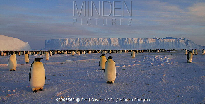 Emperor Penguin (Aptenodytes forsteri) in antarctic landscape, Antarctica  -  Fred Olivier/ npl
