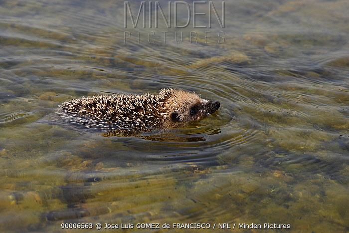 Brown-breasted Hedgehog (Erinaceus europaeus) swimming, La Rioja, Spain  -  Jose Luis Gomez De Francisco/ np