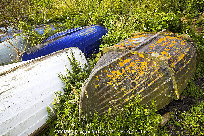 Overturned boats in the overgrown weeds, Lulworth, Dorset, England  -  Adam Burton/ npl