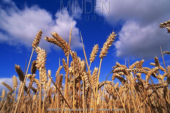 Common Wheat (Triticum aestivum) field against blue sky, Scotland  -  Niall Benvie/ npl