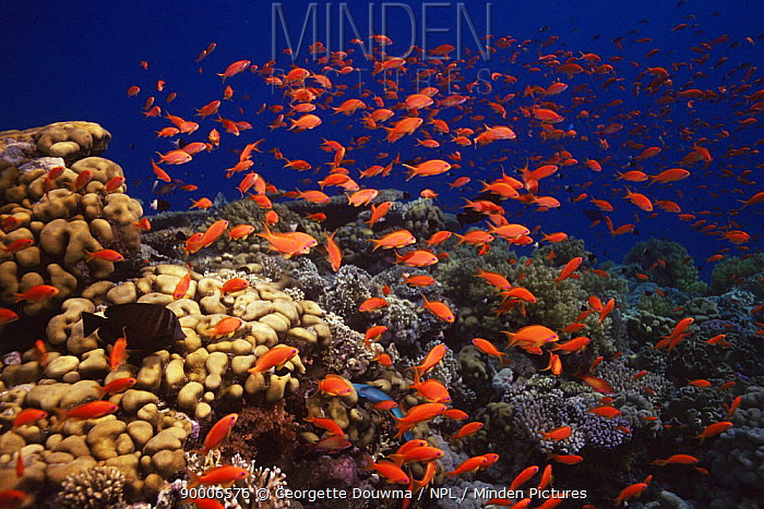 Coral reef landscape with Anthias (Pseudanthias squamipinnis) Red Sea, Egypt  -  Georgette Douwma/ npl