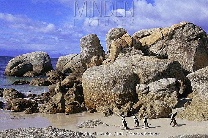 Black-footed Penguin (Spheniscus demersus) Boulders Bay, South Africa  -  Luiz Claudio Marigo/ npl