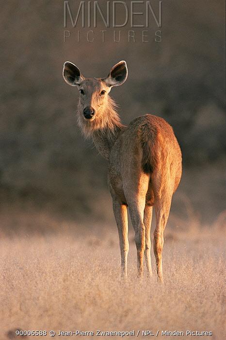 Sambar (Cervus unicolor) Ranthambore National Park, Rajasthan, India  -  Jean-pierre Zwaenepoel/ npl
