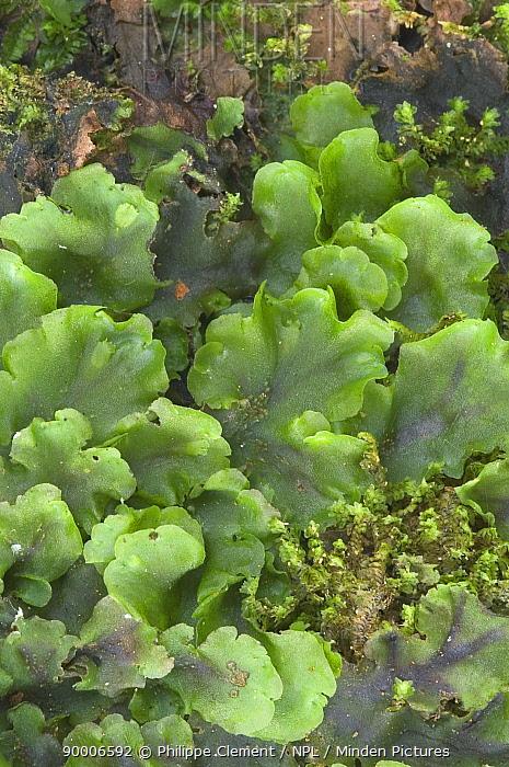 Crescent Cup Liverwort (Lunularia cruciata) Belgium  -  Philippe Clement/ npl