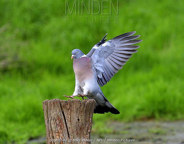 Common Wood-pigeon (Columba palumbus) landing on a log, Warwickshire, United Kingdom  -  Mike Wilkes/ npl