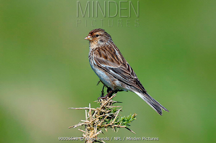 Twite (Acanthis flavirostris) perching on top of Gorse bush, North Uist, Outer Hebrides, Scotland  -  Andy Sands/ npl