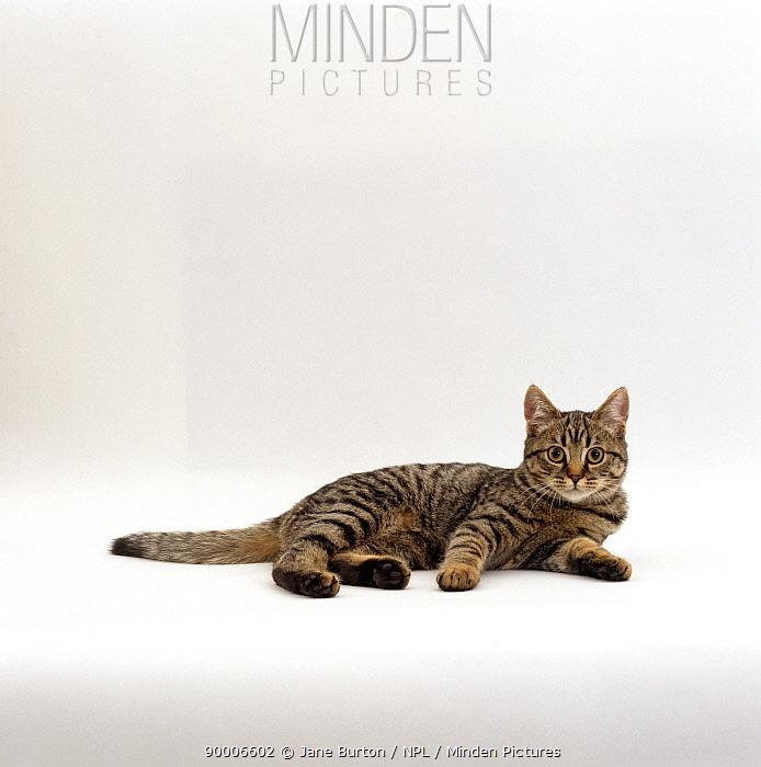 Domestic Cat (Felis catus), Tabby Chinchilla Burmese cross 'Popocat'  -  Jane Burton/ npl