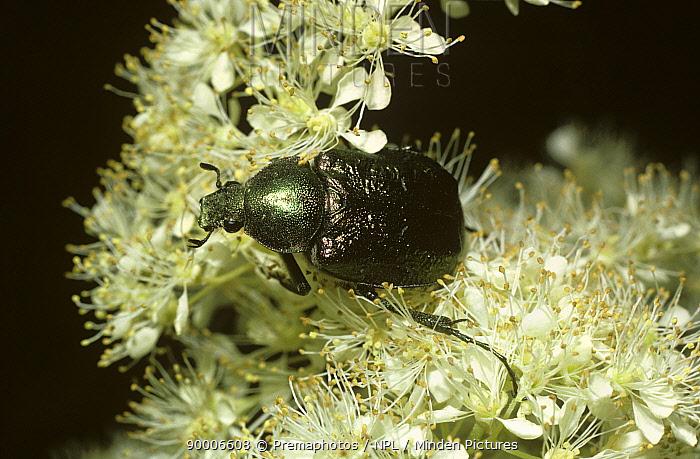 Noble chafer beetle (Gnorimus nobilis) on meadowsweet, UK  -  Premaphotos/ npl