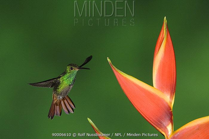 Rufous-tailed Hummingbird (Amazilia tzacatl) feeding on Heliconia Flower, Central Valley, Costa Rica  -  Rolf Nussbaumer/ npl