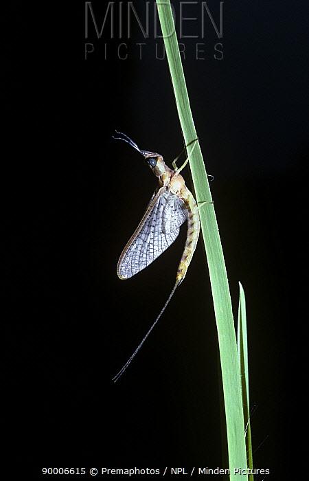 Mayfly (Hexagenia limbata), South Carolina, USA  -  Premaphotos/ npl