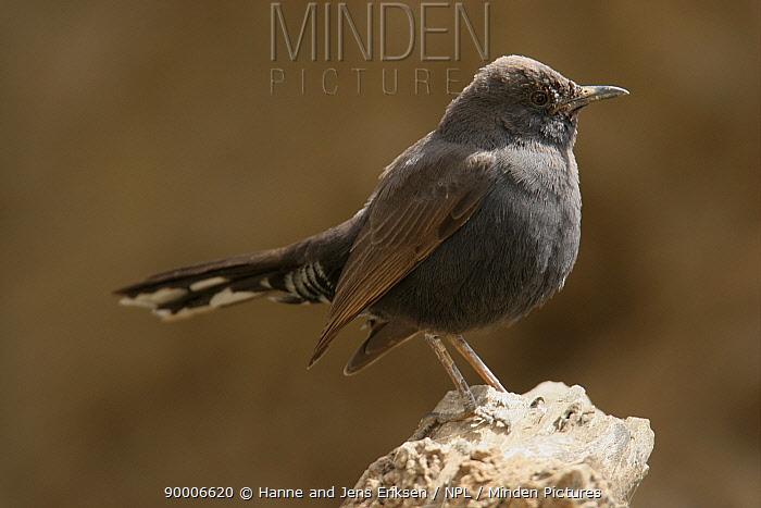 Black bush robin (Cercotrichas podobe) on rock, Wadi Sara, Yemen  -  Hanne & Jens Eriksen/ npl