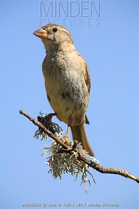 House Sparrow (Passer domesticus) female perching on branch, Pla de Xirau, Alicante, Spain  -  Jose B. Ruiz/ npl
