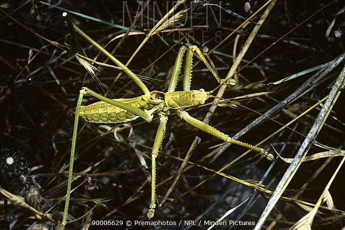 Bush-cricket katydid (Saga sp), male of a carnivorous species, Corfu, Greece  -  Premaphotos/ npl