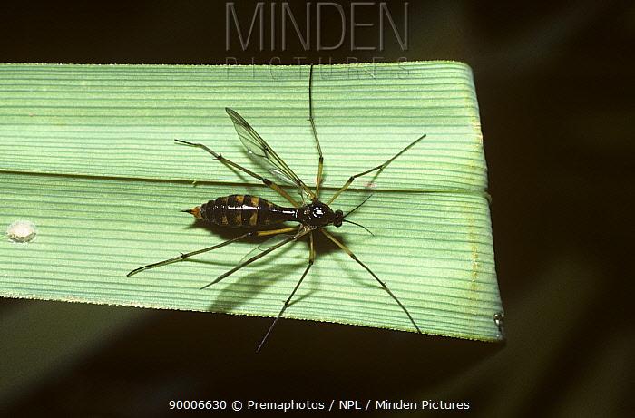 Phantom crane fly (Ptychoptera contaminata) female, UK  -  Premaphotos/ npl