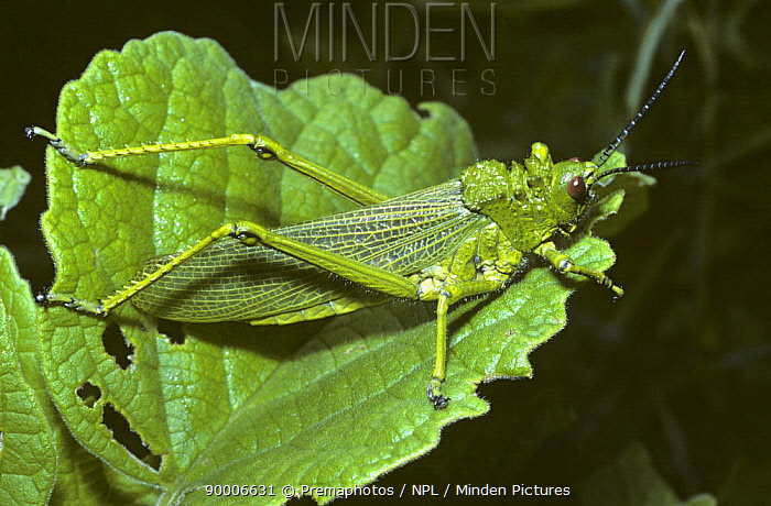 Grasshopper (Phymateus sp) in savannah, Kenya  -  Premaphotos/ npl