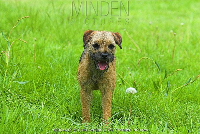 Border Terrier portrait, UK  -  Colin Seddon/ npl