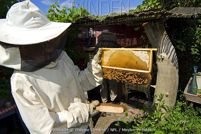 Beekeeper in protective clothing showing honeycomb (Apis mellifera) with drone spawn from hive, Belgium  -  Philippe Clement/ npl