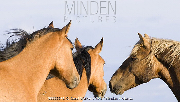 Wild horses, mustangs, palomino stallion and two dun mares, Pryor Mountains, Montana, USA  -  Carol Walker/ npl