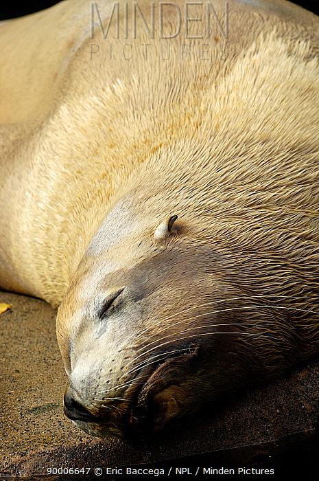 Steller sealion (Eumetopias jubatus) sunbathing, Johnstone Strait, Vancouver Island, British Columbia, Canada Red list of endangered species  -  Eric Baccega/ npl
