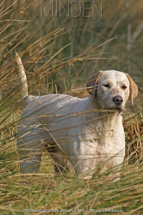 Foxhound standing in rough grass, Carmarthenshire, Wales, UK  -  Dave Bevan/ npl