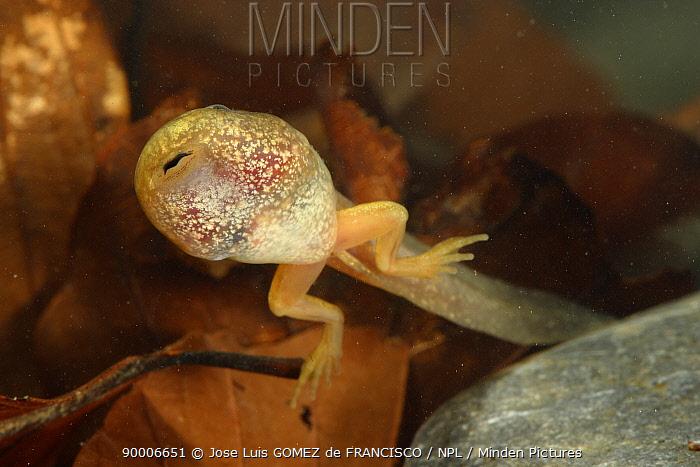 Common Frog (Rana temporaria) tadpole with back legs, Spain  -  Jose Luis Gomez De Francisco/ np