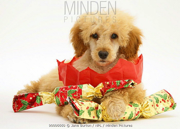 Apricot Miniature Poodle with Christmas Crackers and paper hat  -  Jane Burton/ npl