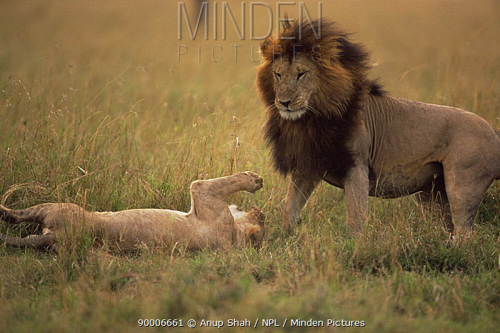 African Lion (Panthera leo) female interacting with male after mating, Masai Mara GR, Kenya  -  Anup Shah/ npl