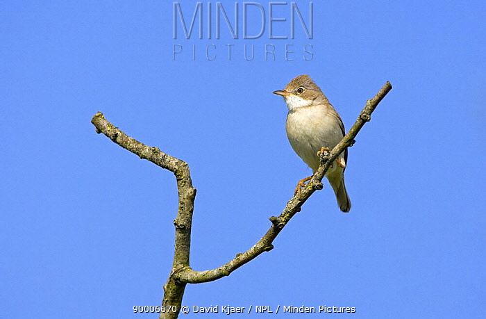 Common Whitethroat (Sylvia communis) male perched, probable first summer male, Wiltshire, United Kingdom  -  David Kjaer/ npl