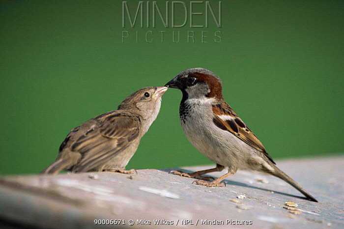 House Sparrow (Passer domesticus) malefeeds young, United Kingdom  -  Mike Wilkes/ npl