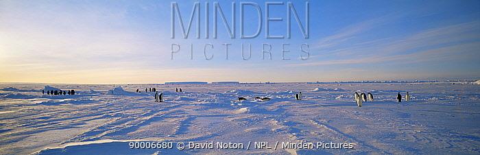 Emperor Penguin (Aptenodytes forsteri) colony on Dawson-Lambton Glacier, Weddell Sea, Antarctica  -  David Noton/ npl