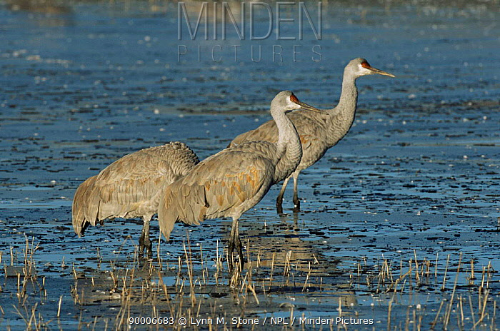 Sandhill Crane (Grus canadensis), Florida  -  Lynn M. Stone/ npl