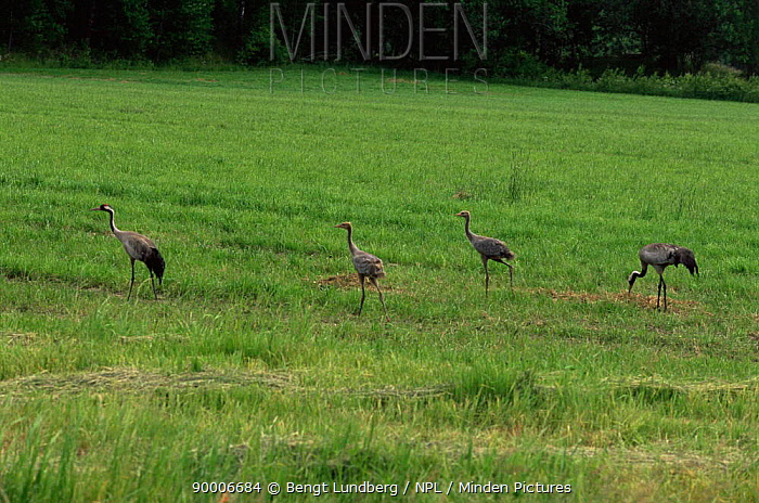 Common Crane (Grus grus) family, two adults and two chicks Sweden  -  Bengt Lundberg/ npl