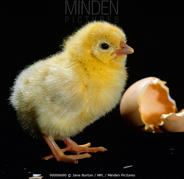Light Sussex hen chick (Gallus gallus domesticus) birth sequence 5, 8 The day-old-chick can stand upright, run about and feed itself  -  Jane Burton/ npl