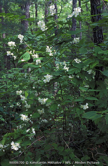 Woodlands with flowering (Philadelphus schrenkii) SE Siberia, Russia  -  Konstantin Mikhailov/ npl