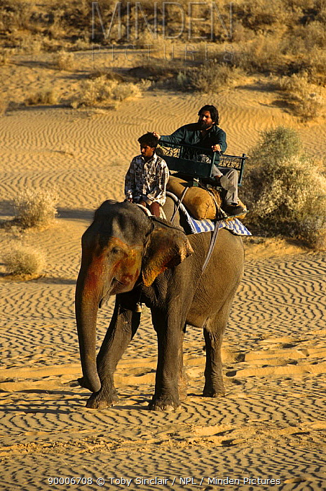 Presenter Valmik Thapar riding on Indian elephant in the Thar desert, Rajasthan, India On location for BBC television programme 'Land of the Tiger, Deserts', April 1997  -  Toby Sinclair/ npl
